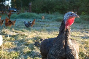 Turkey at Dancing Dog Farm