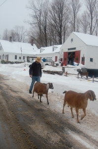 Walking the goats