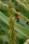 Honey Bee in the Corn