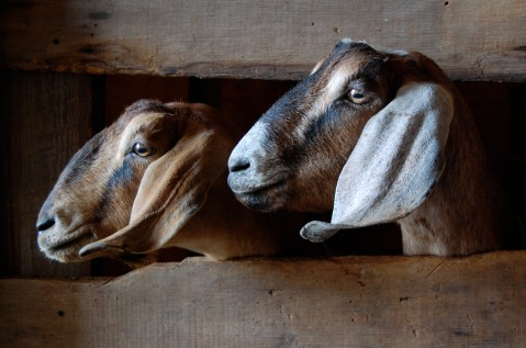 goat faces