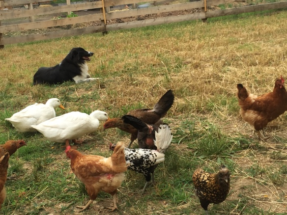 Gwyn is wonderful with poultry; biddable and very gentle.